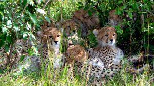 Cheetahs. Maasai Mara National Park, Kenya