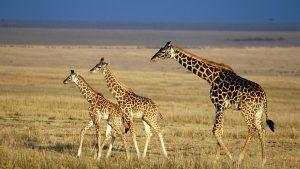 Giraffes. Kenya