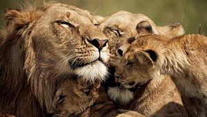 Lions. Maasai Mara National Park, Kenya