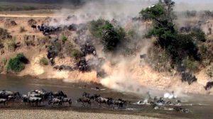 Wildebeests. Maasai Mara Migration, Kenya