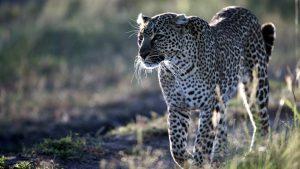 Leopardo africano-Kenya Vacanze