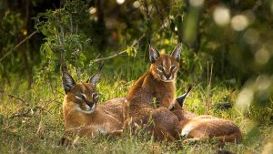 Caracal-Kenya Safari