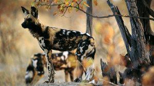 Licaone-Kenya Safari