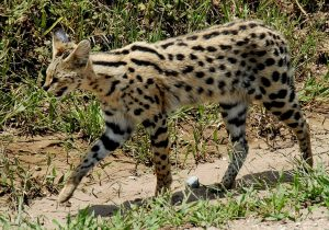 Servalo-Kenya Safari