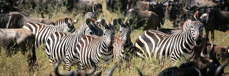 Zebre-Kenya Safari
